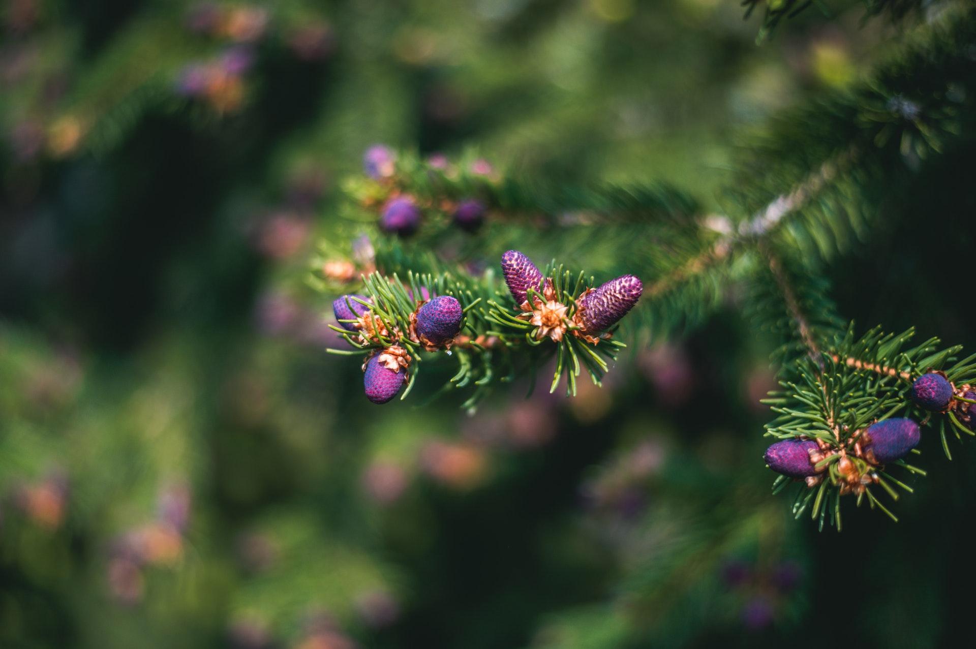conifeer plant
